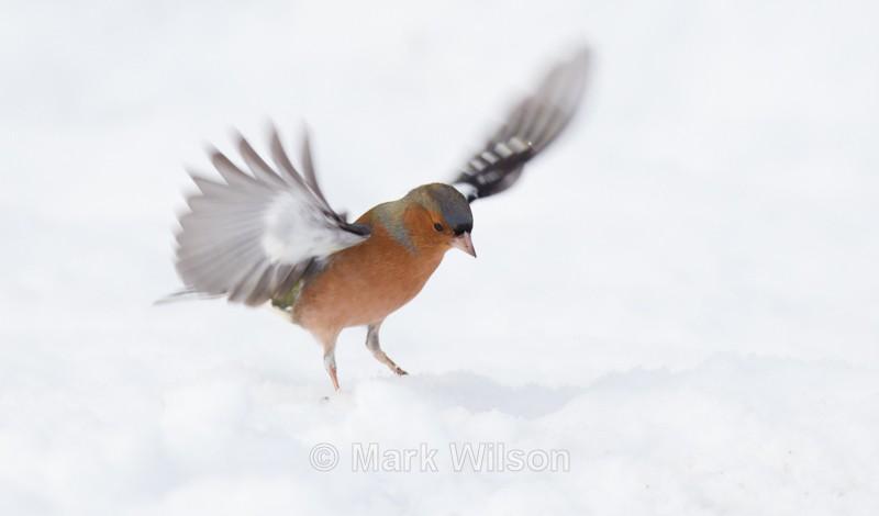 Chaffinch - Garden birds