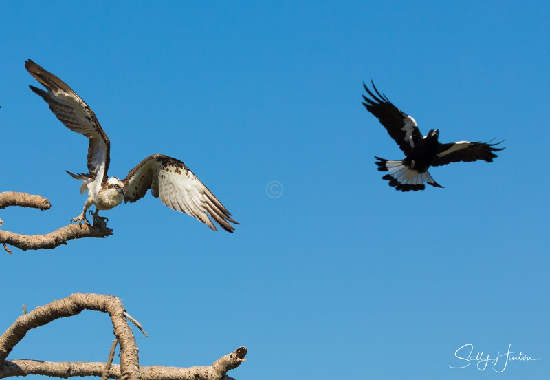 Osprey versus Crow 2 - Osprey (For Sale)