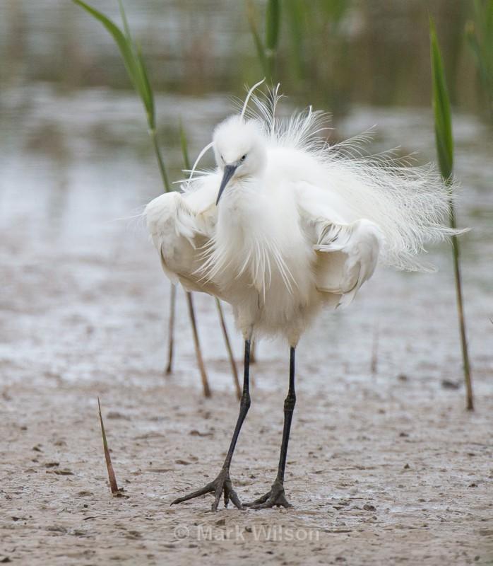 Little Egret - Herons, Egrets & Cranes