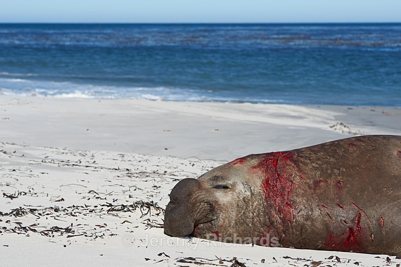 Bloodied Male Elephant Seal - Sea Lion Island