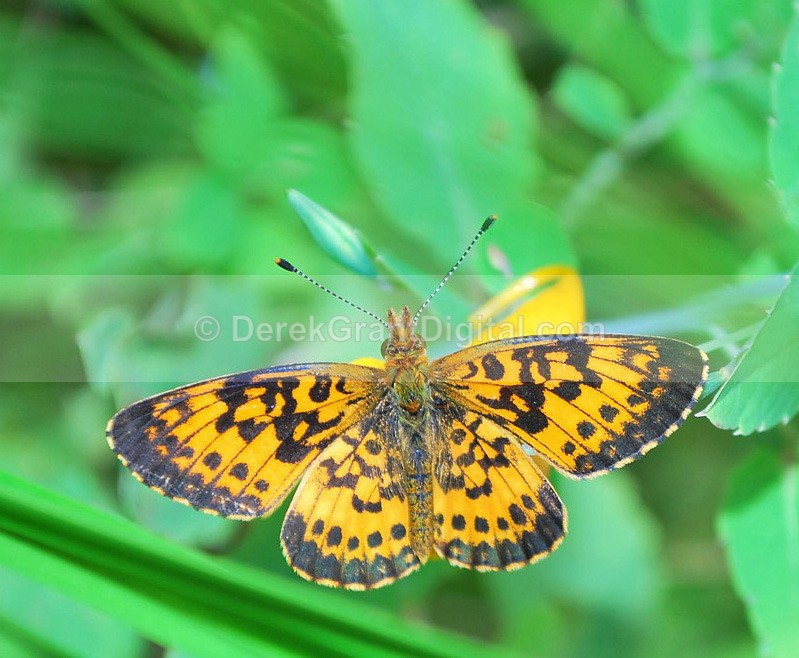 Silver-bordered Fritillary - Butterflies & Moths of Atlantic Canada