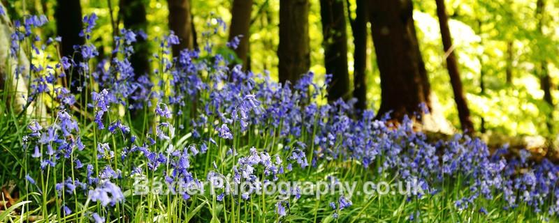 Bluebell Woods At Nidd Gorge - Views Around Harrogate: