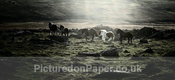 Evening Ponies - Horses and Ponies
