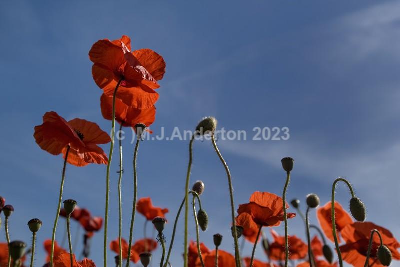 Poppy Sky. - Flowers