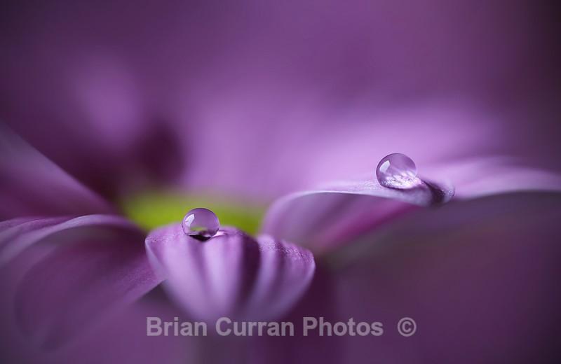 Purple Pearls - Flowers