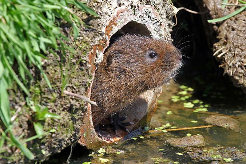 Water vole - Wildlife, animals and nature
