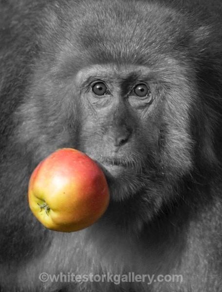 Japanese Monkey - Wildlife and Animals