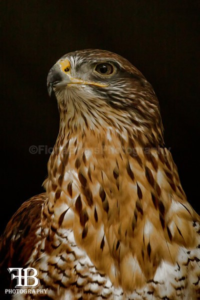 aviary birds-6 - Birds of Prey
