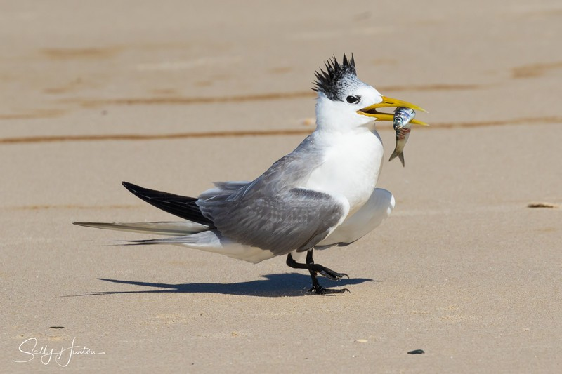 Love Dance 14 - Crested Terns 2018 (For Sale)