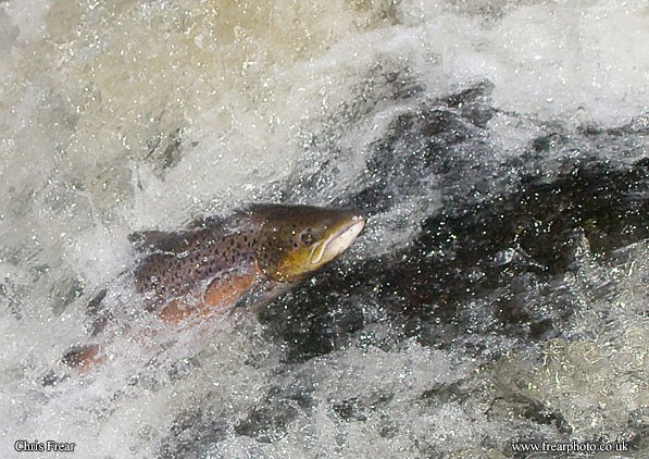 Leaping Salmon I - Animals/ Wildlife