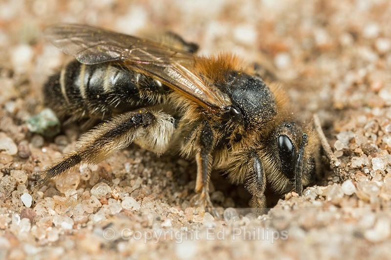 Andrena barbilabris (f) - Andrena barbilabris