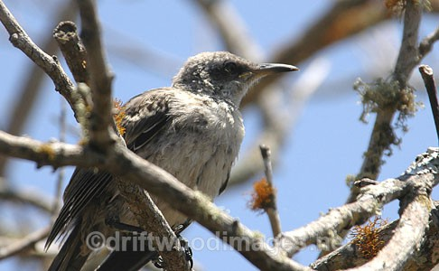 Mocking Bird - Galapagos Islands