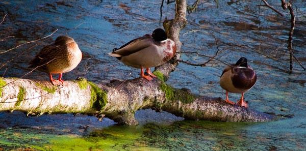 Ducks on a Branch - Wildlife