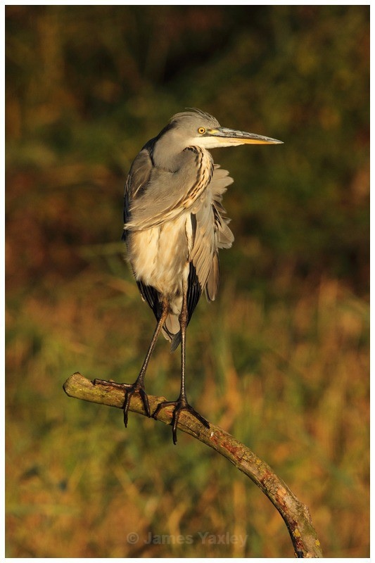 Grey Heron on Kingfisher Perch 2 - River Scrape & Lake