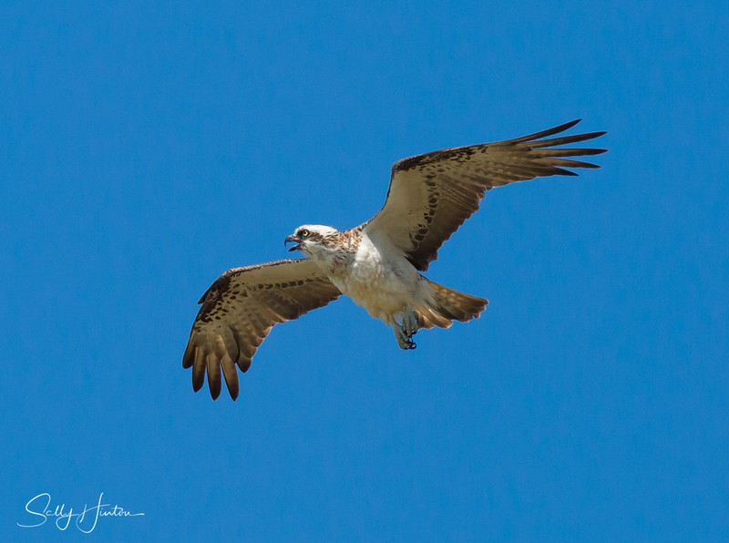 Osprey in Flight 4 - Osprey (For Sale)