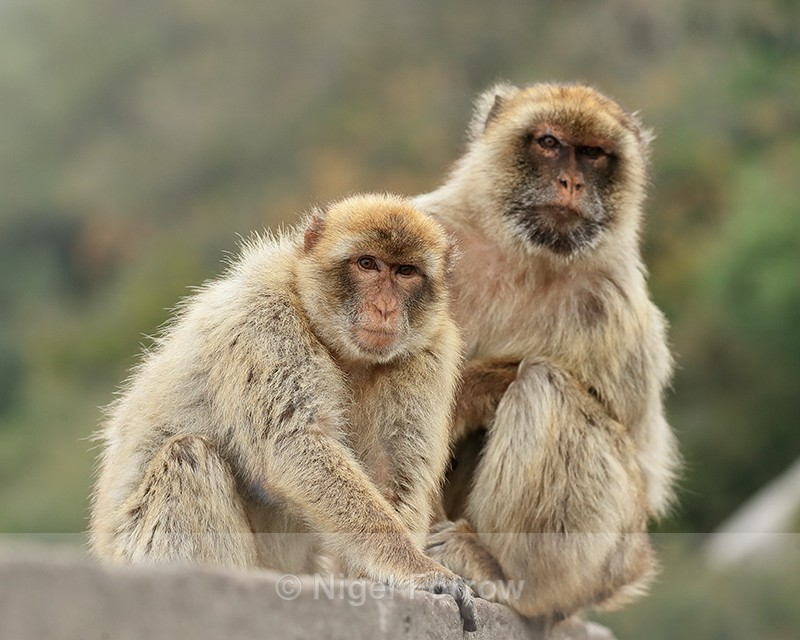 Barbary Macaques (male & female), Gibraltar - Monkey