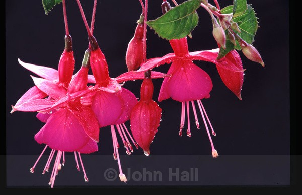 close up of fuchsia