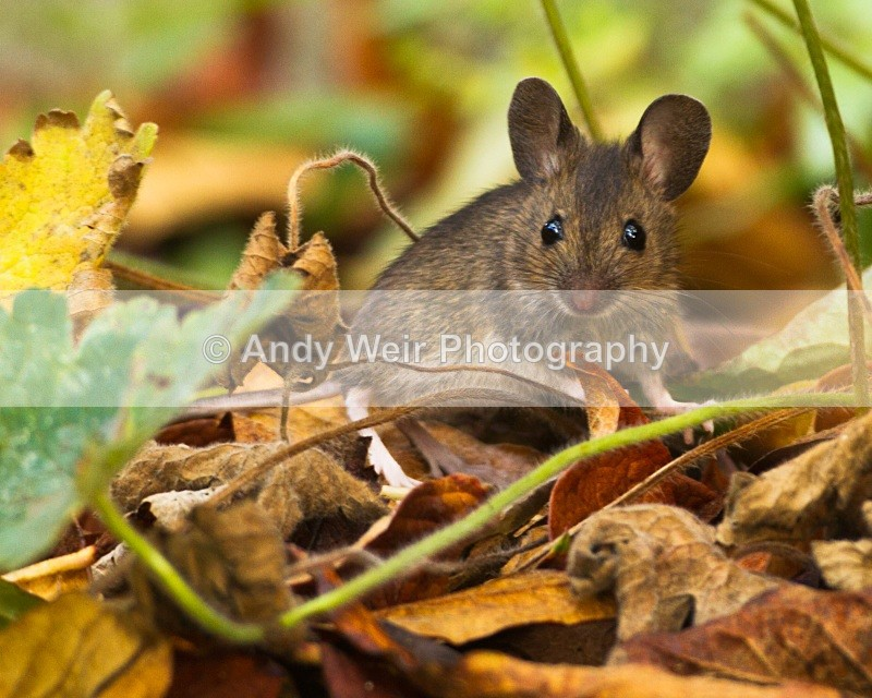 20101113_3199 - Wood Mouse