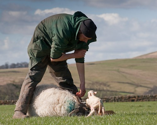 18 - The Lambing