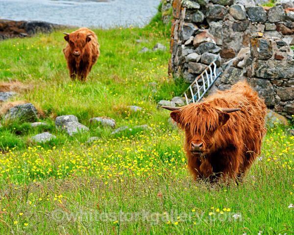 Highland Cattle - Scottish Highlands
