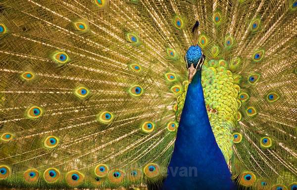 Peacock Display - Travel
