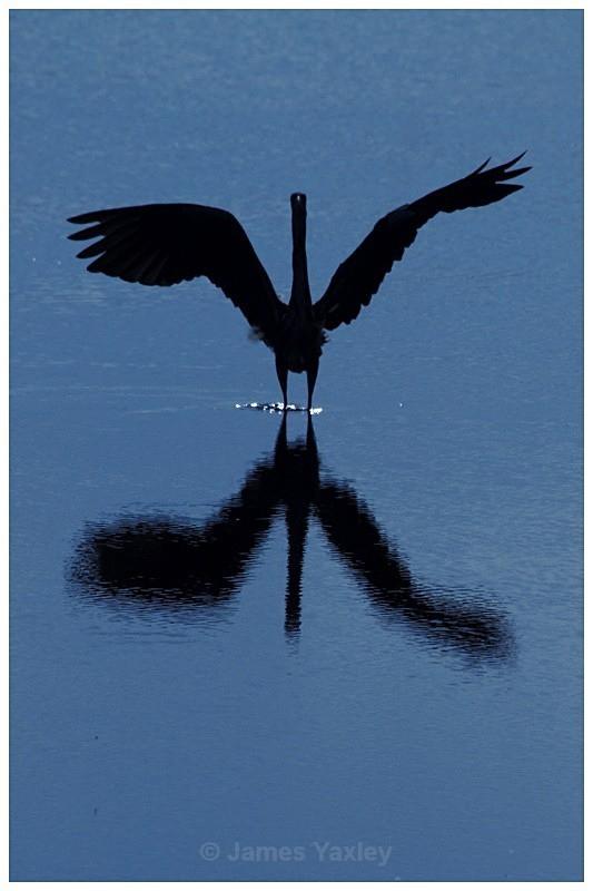 Grey Heron on Blue 3 - Creative