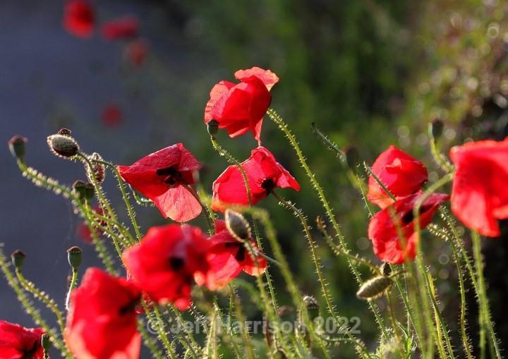 Poppies - backlit (image Pop 03) - Trees, Plants, Flowers & Garden scenes