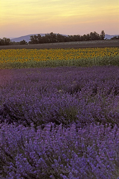 sunset over lavender - Provence