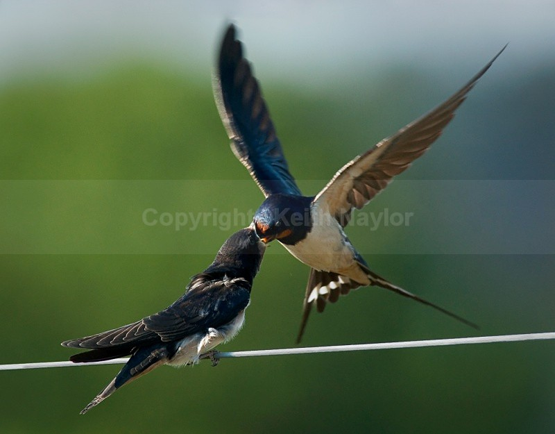 A swallow feeding its young on the wing