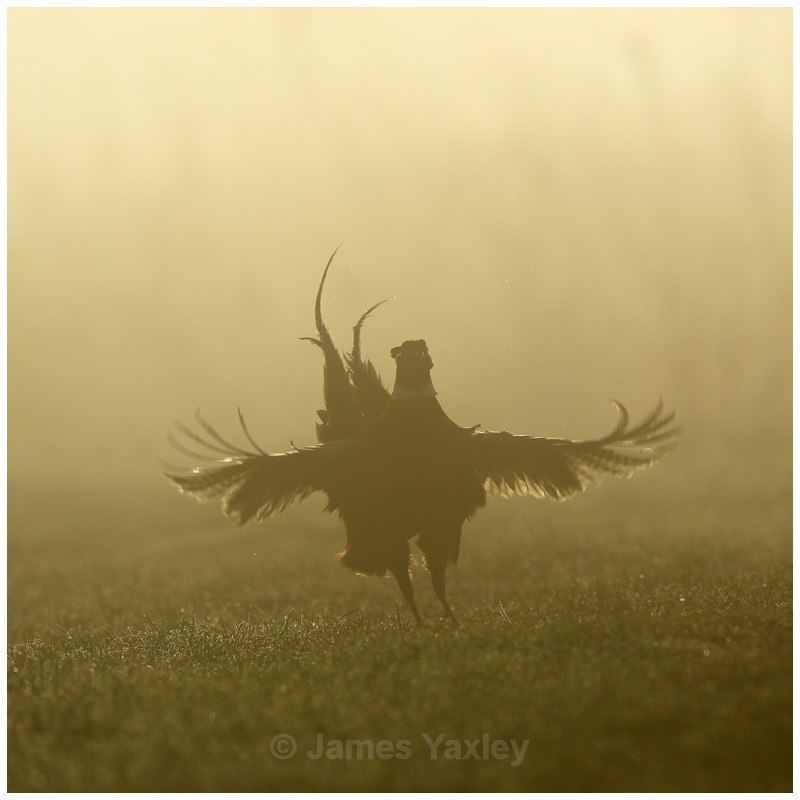 Pheasant in the Fog - British Birds