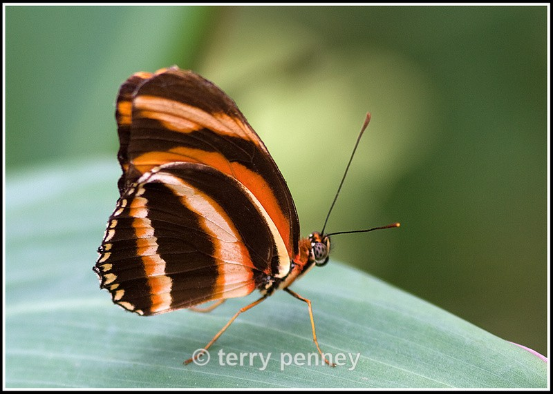 Butterfly 4 (Captive) - Insects & Spiders