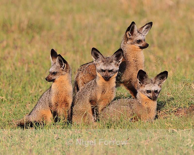 Four Bat-eared Foxes outside their hole in the Masai Mara - Fox