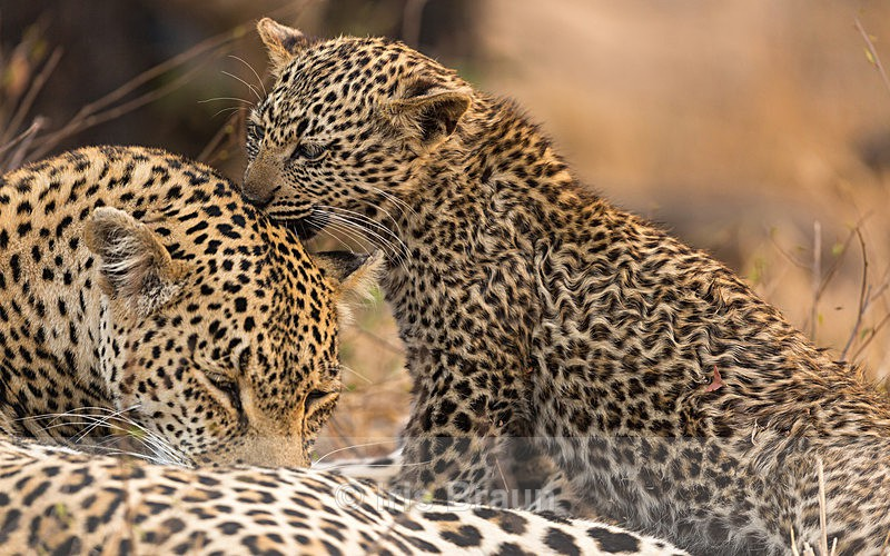 Close Bond - Leopard