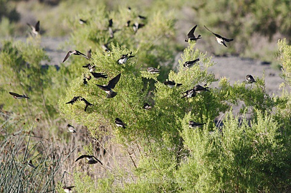 Sunning Swallows - Nevada Birds