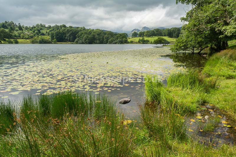Water Lilies at Loughrigg Tarn - Lake District National Park - Lake District National Park