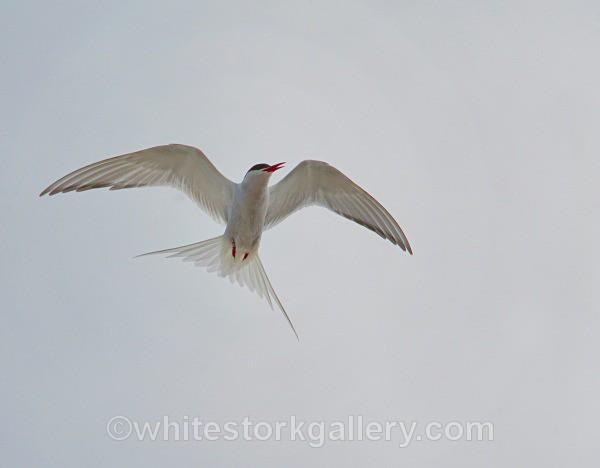 Tern in Flight - Scottish Highlands