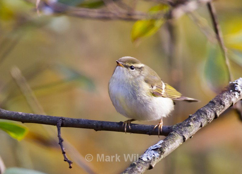 Yellow-browed Warbler - Mid-Wales - The rest.....