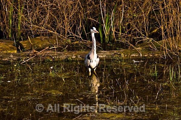 Wildlife1096 - Wildlife Wales