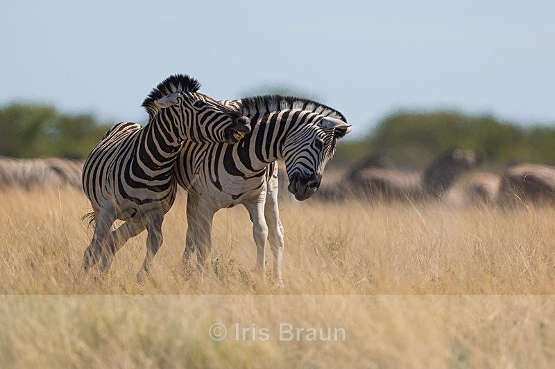 Stallions III - Zebra