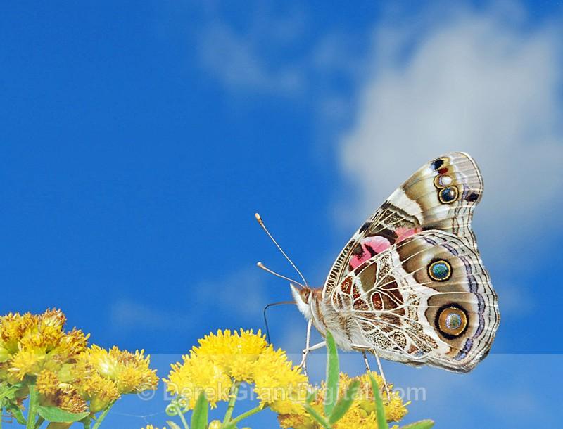 American Lady ( Vanessa virginiensis) - 1 - Butterflies & Moths of Atlantic Canada