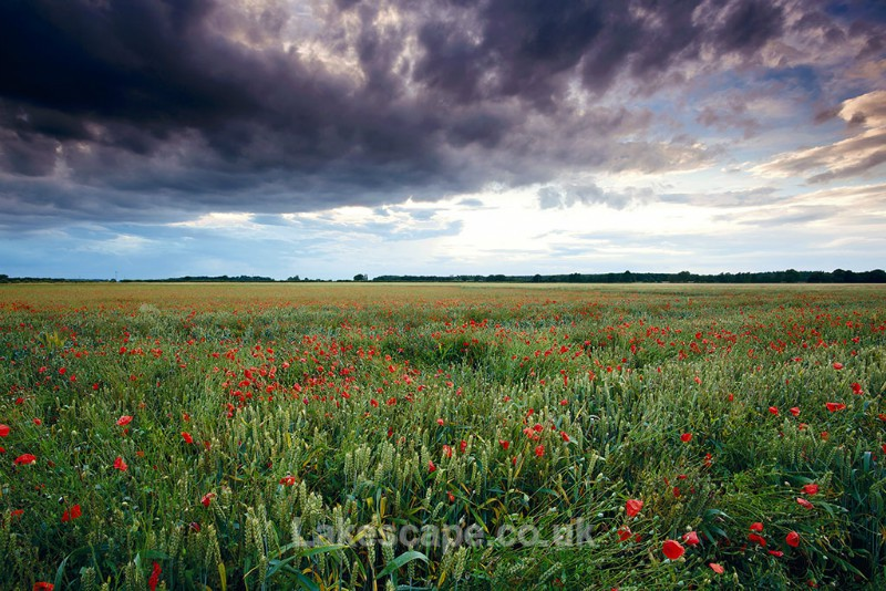 Summer Poppy Field_8826 - Flowers