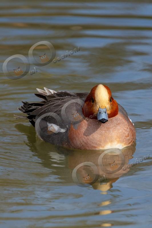 wigeon Anas penelope-5048 - UK birds