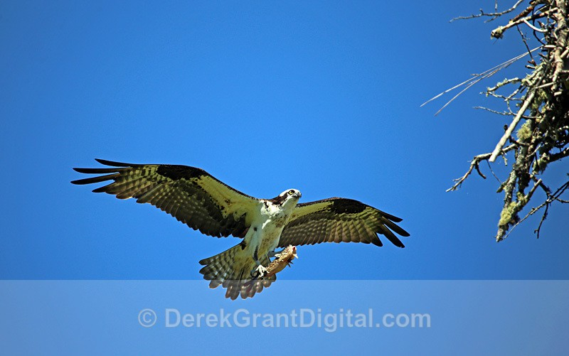 Osprey Arriving at Nest with Fish - Birds of Atlantic Canada