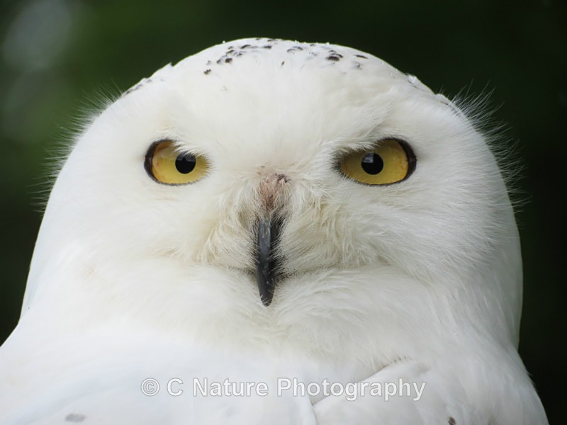 Snowy Owl - Birds