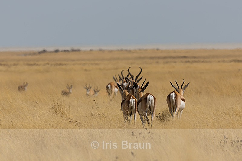 Going for Water - Antelope