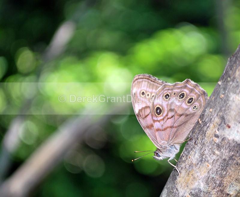 Northern Pearly-Eye - 2 - Butterflies & Moths of Atlantic Canada