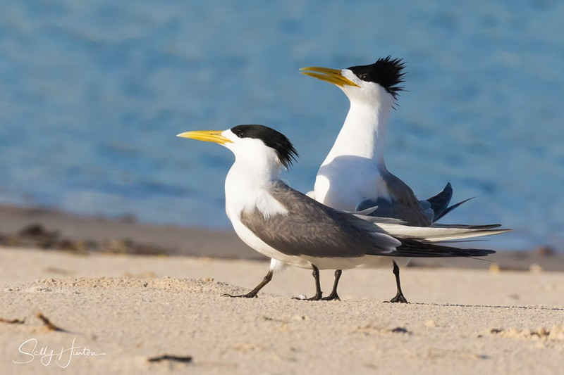 Breeding Pair 1 - Crested Terns 2018 (For Sale)