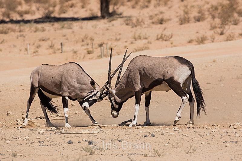 Bull Fight - Antelope