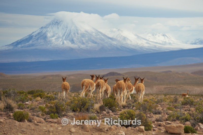 Vicuna on the Altiplano - Altiplano of North-East Chile