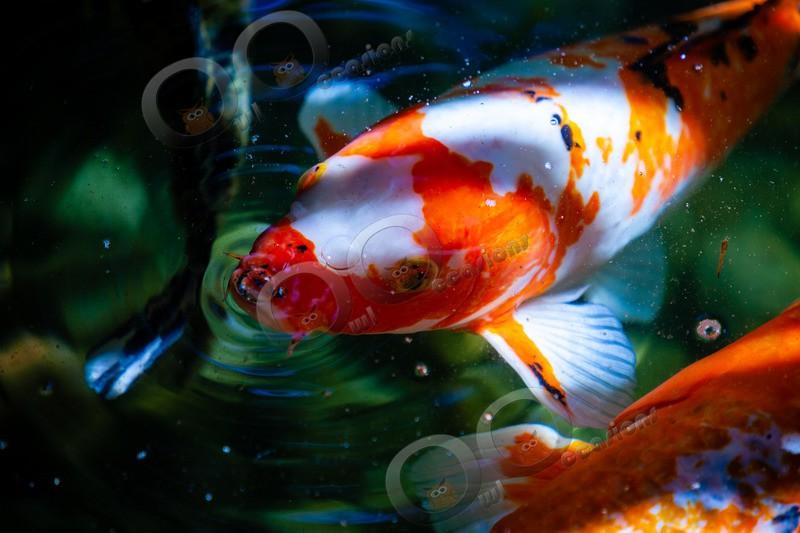 Koi-6825 - Pet Photography
